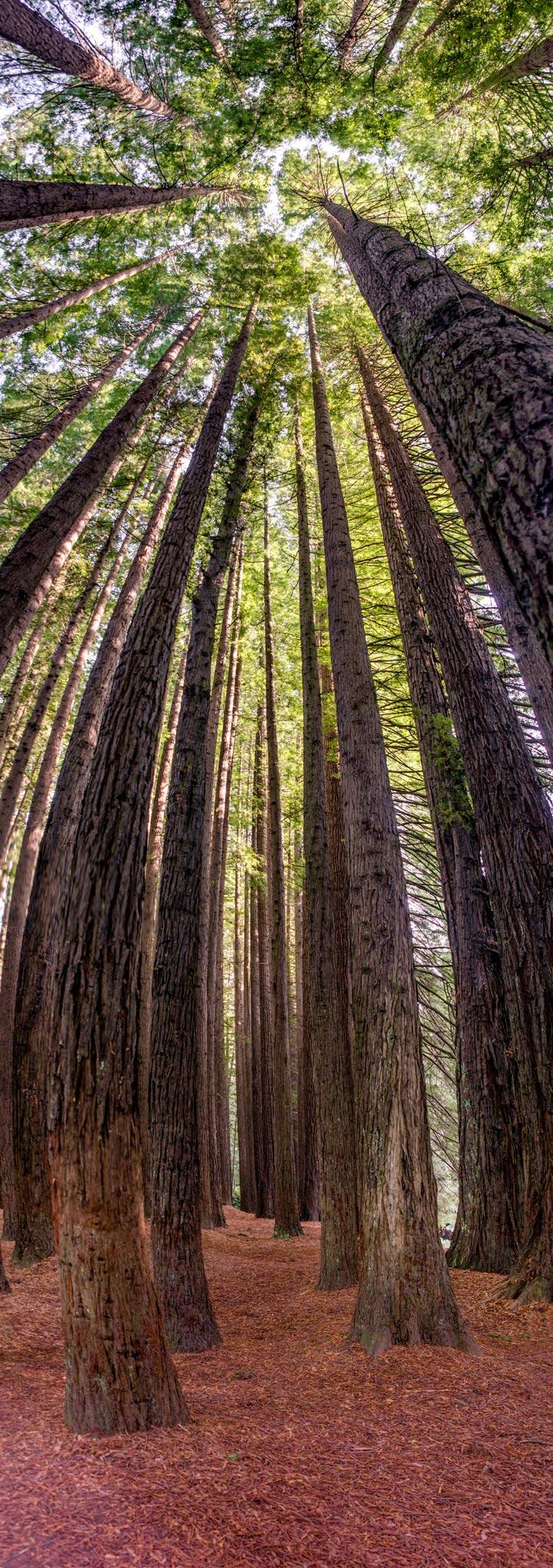 Paesaggi-Australia - Californian Redwood Forest - Australia-Californian_Redwood_Forest - Australia-Californian_Redwood_Forest